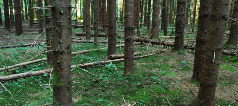 wild-forest
